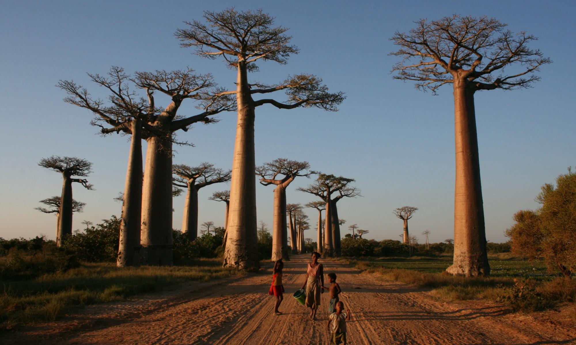 Familie geht unter hohen Baoba-Bäumen in der Abendsonne